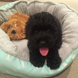 Louis The Labradoodle And His Friend. 8 Weeks Old.