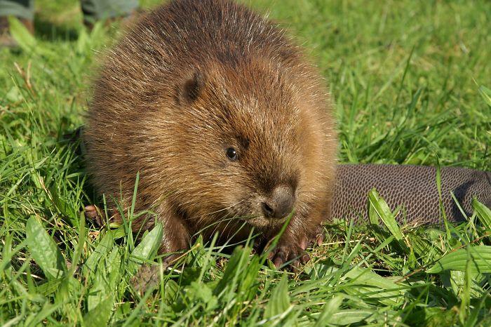 Babe beaver hairy