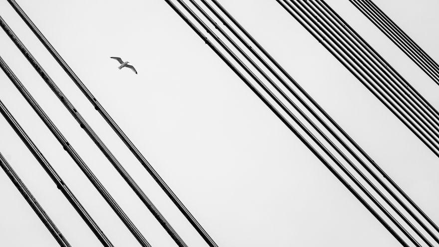 Maestro Seagull