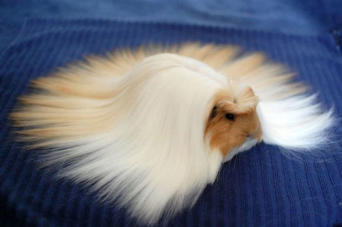 53 guinea pigs with the most majestic hair ever bored panda