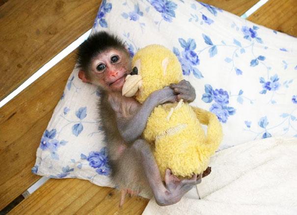 Baby Mandril Cuddles His Stuffy