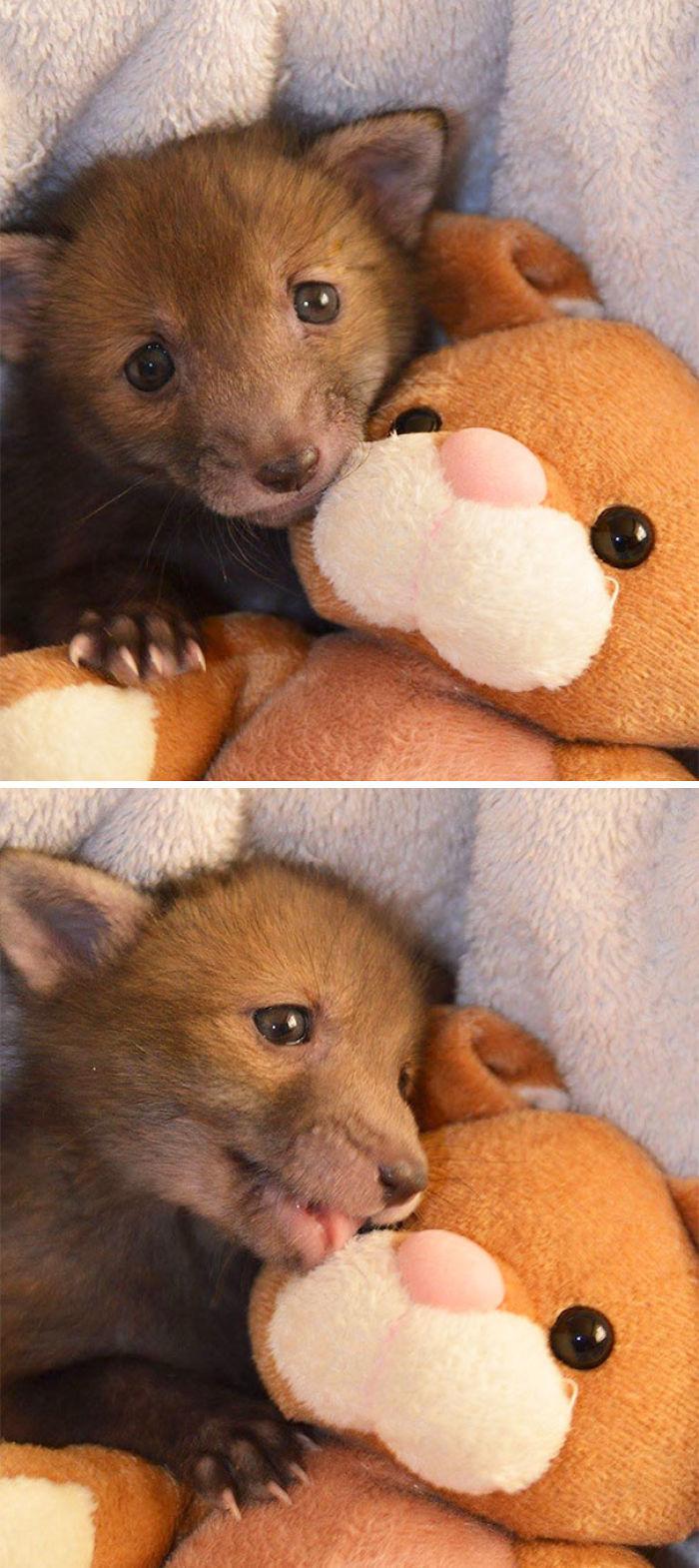 Zorro rescatado con su conejo de peluche