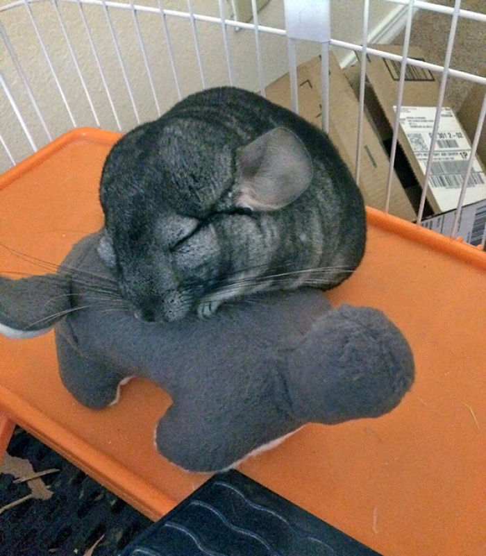 My Chinchilla Cuddling With His Stuffed Chinchilla
