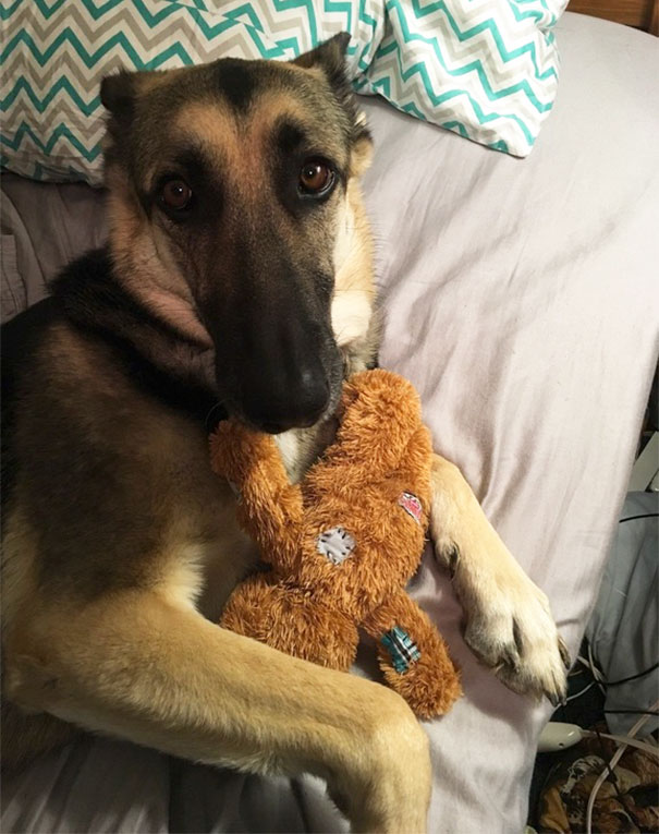 """""""Tough"""" German Shepherd Has To Snuggle With Her Teddy Bear Or She Won't Sleep At Night"""