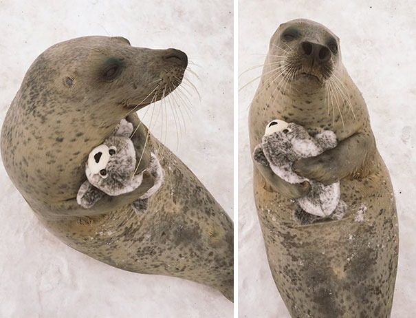 This Adorable Seal Got A Special Present From The Zoo Staff And Couldn't Stop Cuddling With It