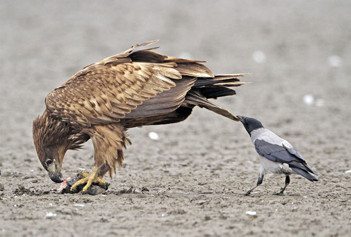 10+ Pics That Prove Corvids Are The Biggest Baddasses In The Animal Kingdom