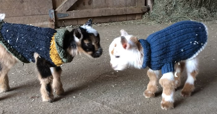 1-Day-Old Baby Goats Learning To Jump Is The Cutest Thing You'll See Today