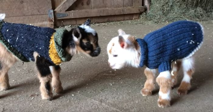 1 Day Old Baby Goats Learning To Jump Is The Cutest Thing