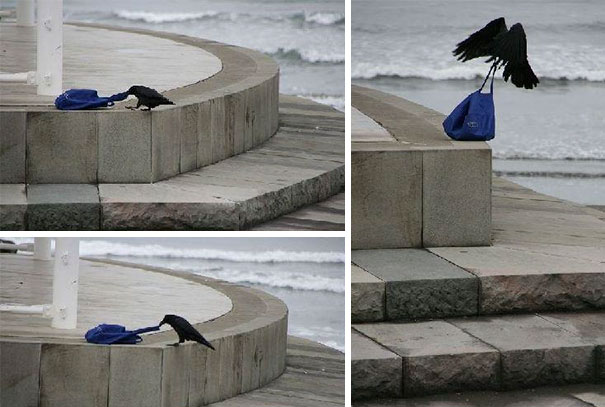 I'm A Simple Crow: I See A Bag Unattended - I Take It