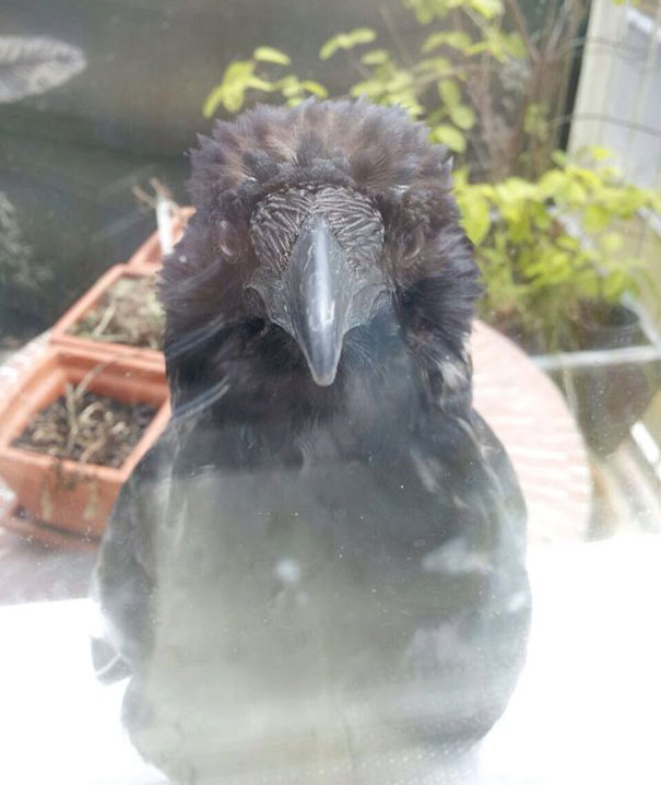 There Is A Raven In Front Of My Kitchen. He Just Sits There, Stares At Me And Doesn't Give A F*ck