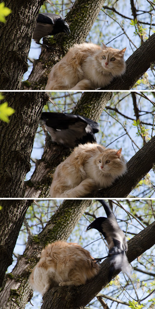 Cats Don't Belong In Trees According To This Crow And He's Going To Fix It