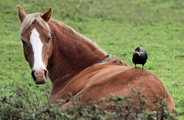 This Jackdaw Pinching Hair From A Horse's Back