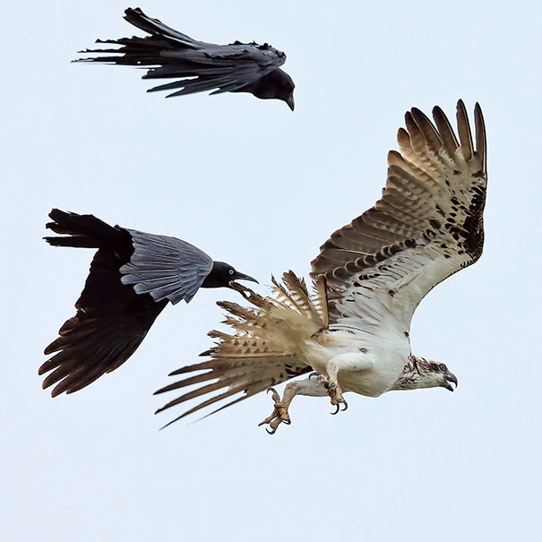 Australian Ravens And Eastern Osprey. Image Says It All
