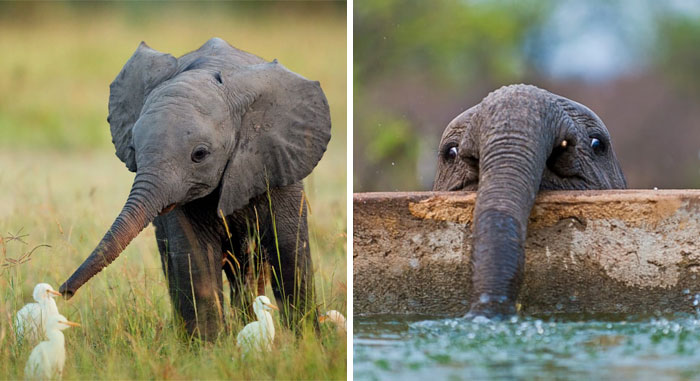 35+ Baby Elephants That Will Instantly Make You Smile