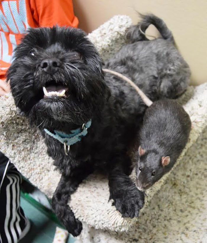 dog-cat-rat-inseparable-adopted-together-16