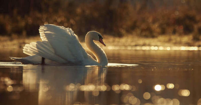 Swans By Photographer Jacob Cartein One More Step To The Nature