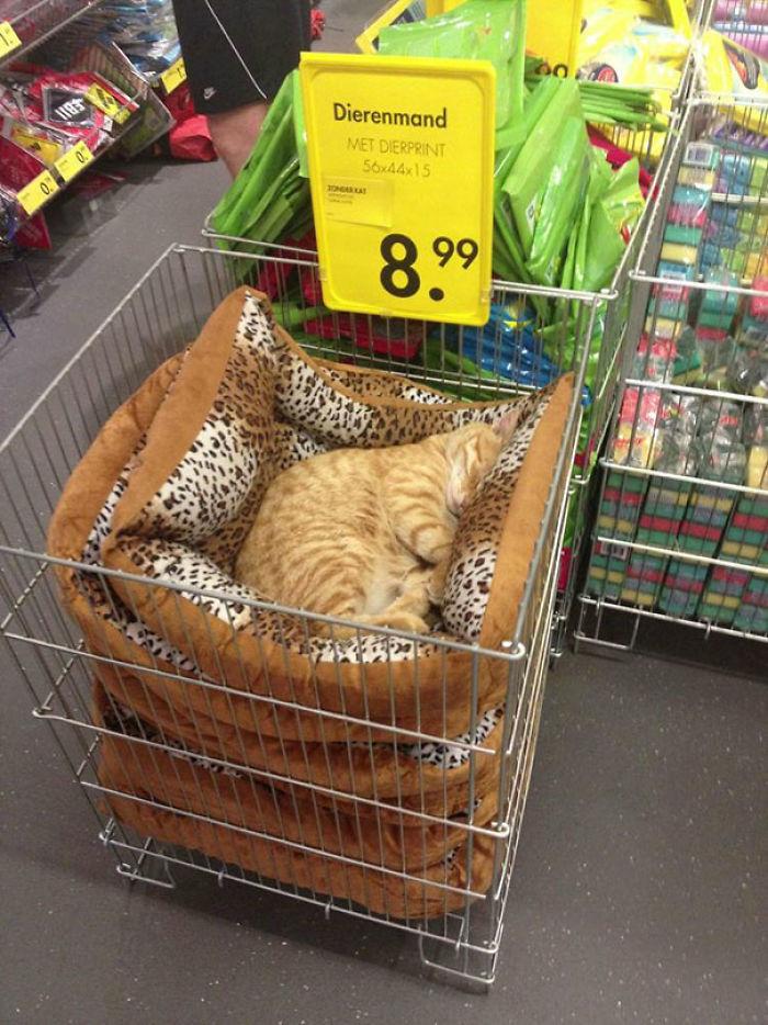 En esta tienda de mascotas, el gato ha decidido que todas las camas son para él