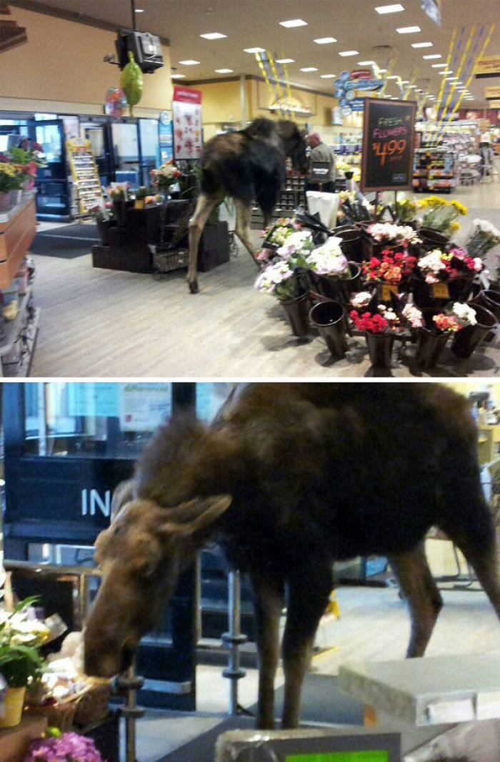 This Moose Decided To Enter The Local Grocery Store