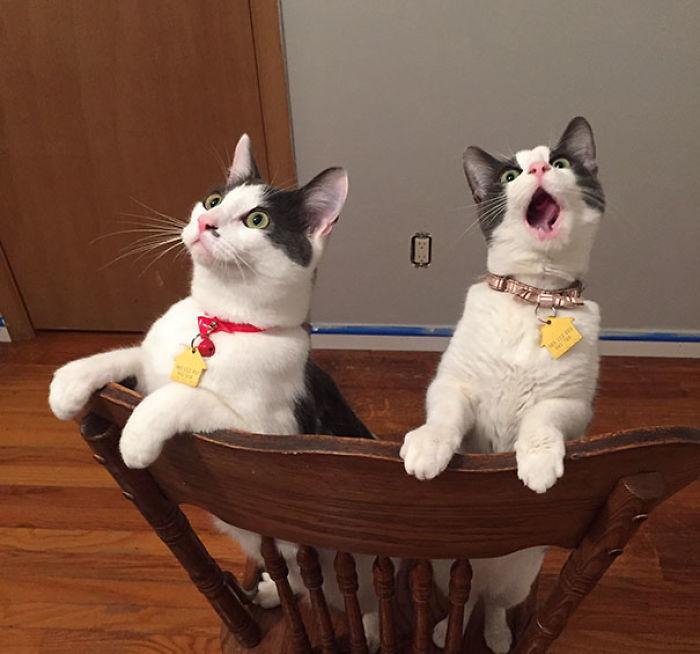 Mis gatos flipando al ver el ventilador del techo girando