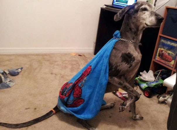 So Our Son Decided To Give The Dog A Cape