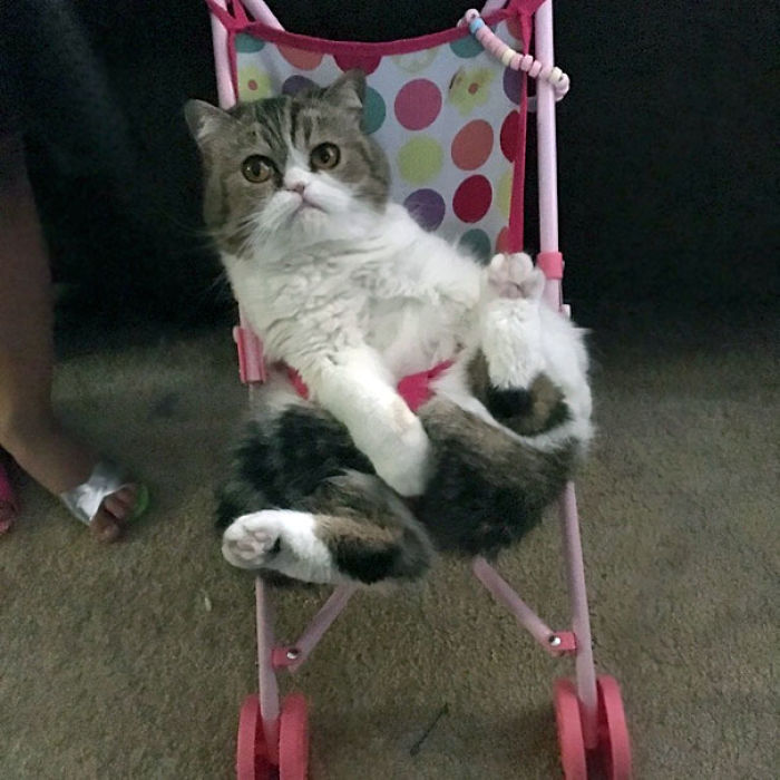 My Daughter Likes To Push Our Cat Around In A Stroller. Yes, She's Buckled In