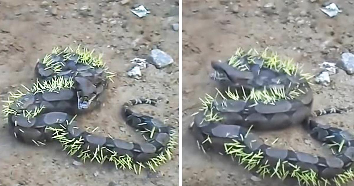 Giant Snakes Eating Crocodile