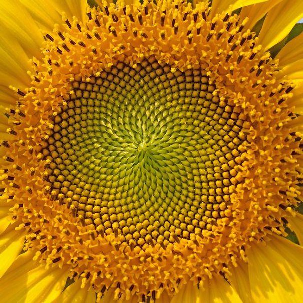 golden-ratio-sunflowerjpg653x0_q80_crop-smart-58fa0c84c1569.jpg