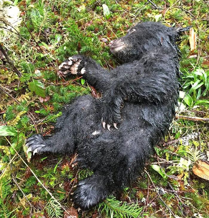 hiker-saves-baby-bear-risks-jail-time1