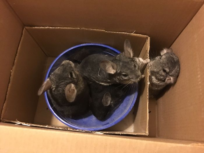 A Bunch Of Chinchilla In A Dust Bath!  (they Can't Get Wet)