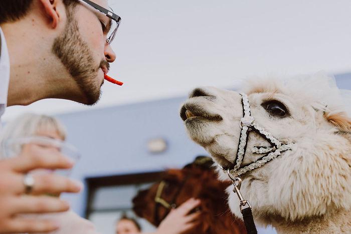 Llamas At The Wedding
