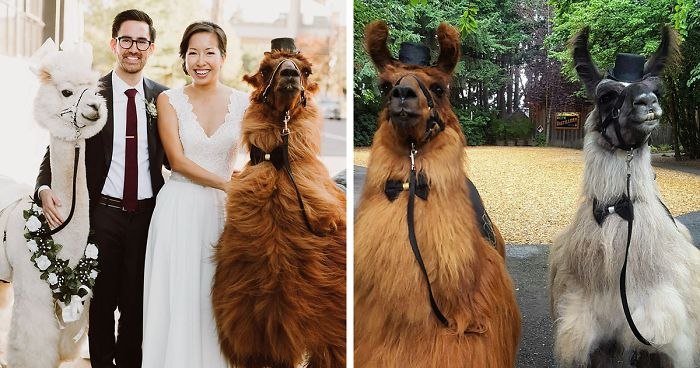 Hate Humans? Now You Can Invite Llamas In Bowties To Your Weddings Instead