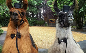 People Who Hate Humans Now Can Invite Llamas In Bowties To Their Weddings Instead