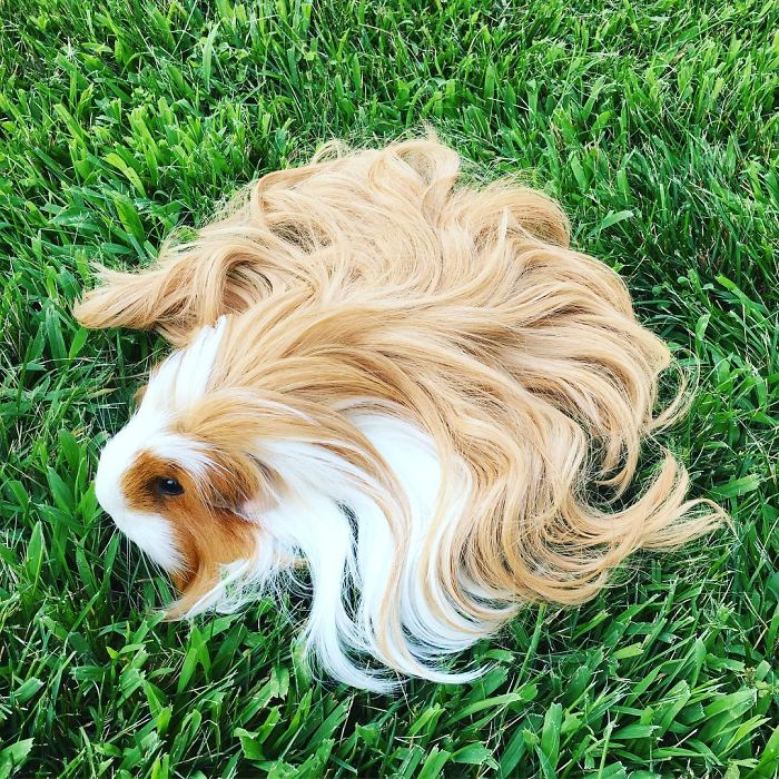 10 Guinea Pigs With The Most Majestic Hair Ever Bored Panda