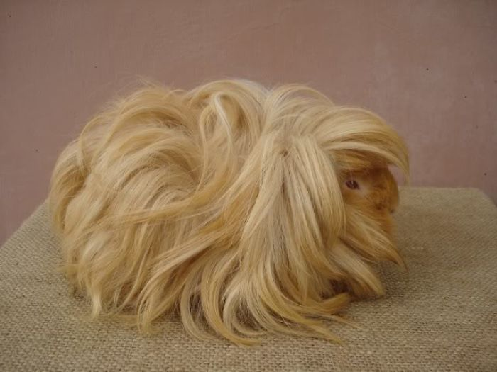 Long haired guinea pig - photo#50