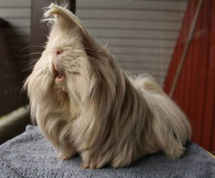 10+ Guinea Pigs With The Most Majestic Hair Ever | Bored Panda