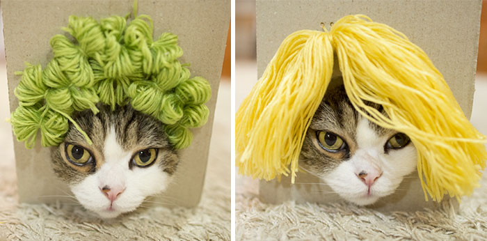 Maru The Cat Accidentally Tries On Different Wigs After His Owner Builds A Box Trap, And It's Hilarious (+Video)