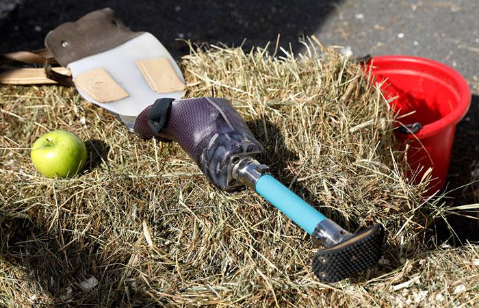 mini-horse-amputee-gets-prosthetic-leg-angel-marie-4