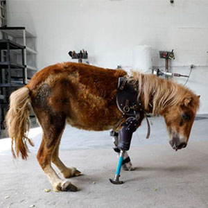 Pony Stands On Her Feet For The First Time With Prosthetic Limbs After Birth Accident