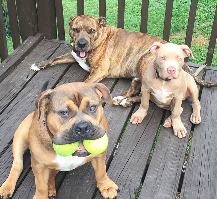 My Very Talented Pack Of Pitbulls