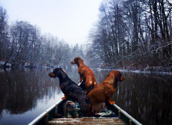 My Mum's 3 Wiener Dogs Going For Their Daily Canoe Ride