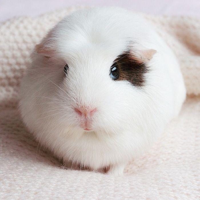 Round Guinea Pig