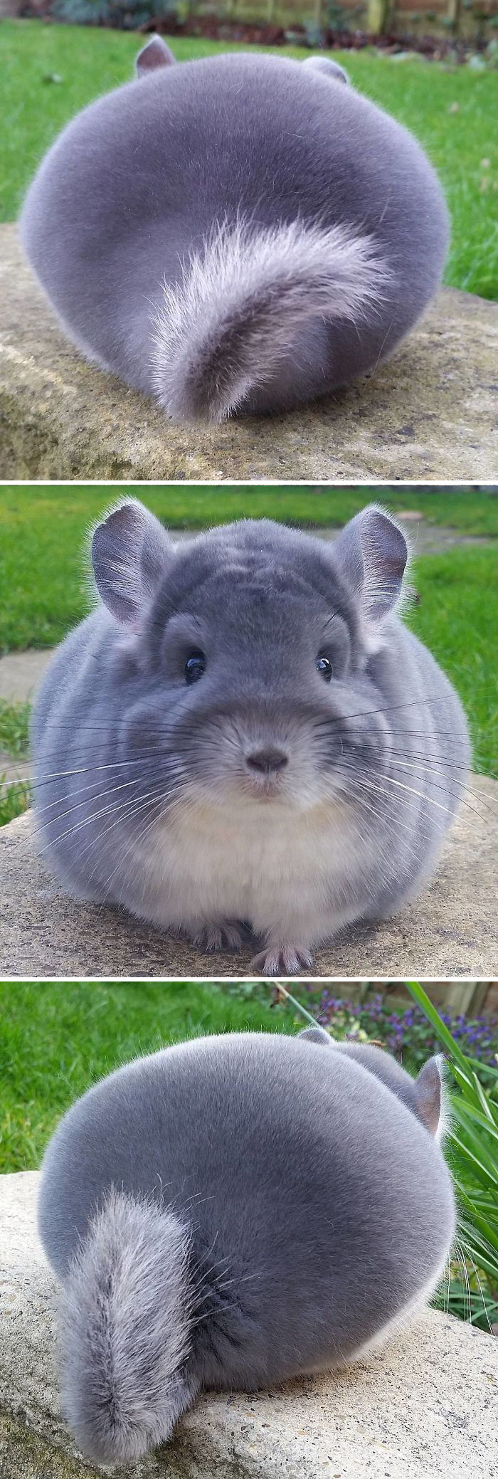 These Chinchillas