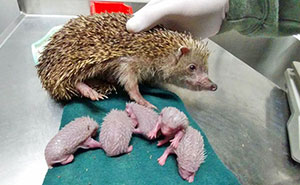 Hedgehog Gets Hit By Car, X-Ray Reveals 5 Reasons She Didn't Give Up