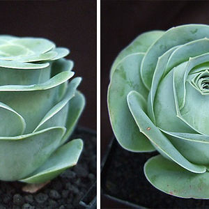 Rose Shaped Succulents