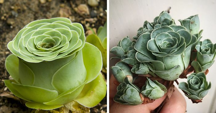Rose Succulents Are A Thing And They Look Straight Out Of