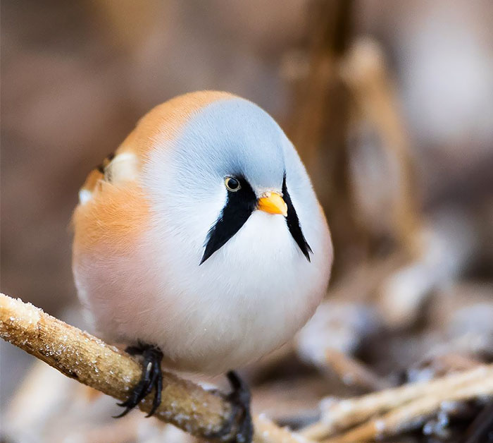 A Ball Of Bearded Reedling