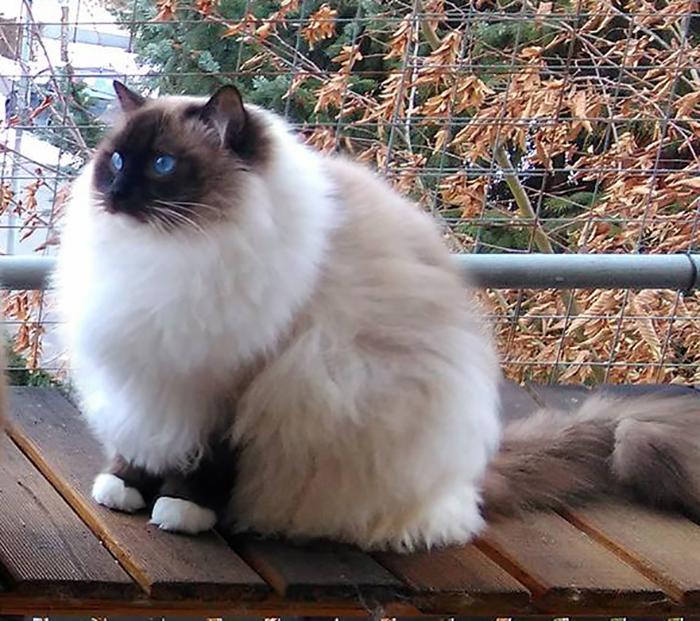 My Ragdoll In Winter