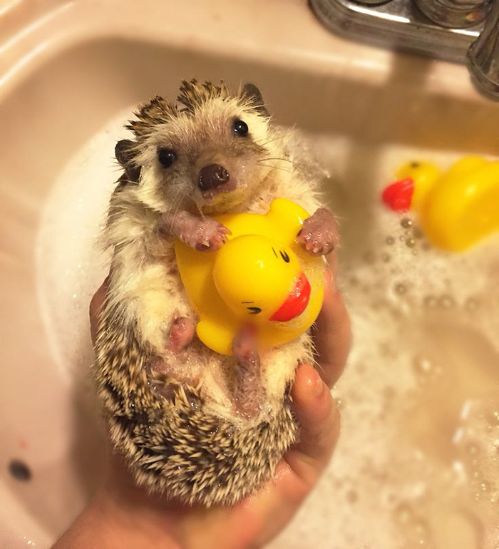 Cute Hedgehog With His Rubber Ducky