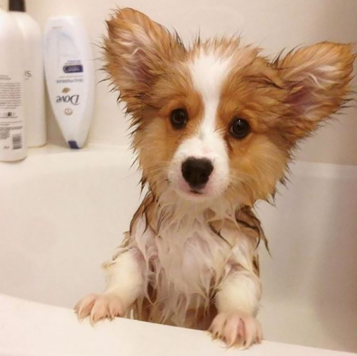 Corgi Pup's First Bath!