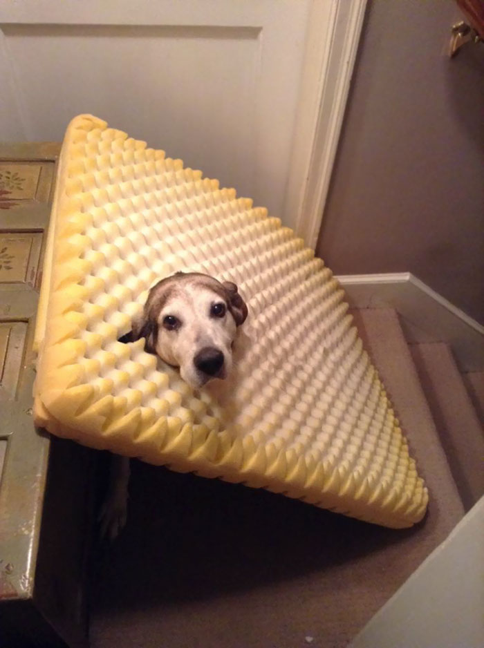 Found My Dog Like This, She Ate Through Her Bed And Got Herself Caught